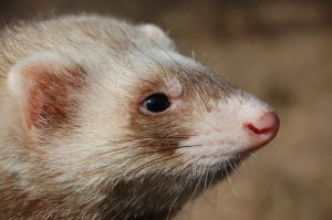 Why Ferrets Make the Greatest of Pets