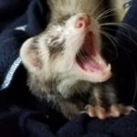 Ferret Yawning