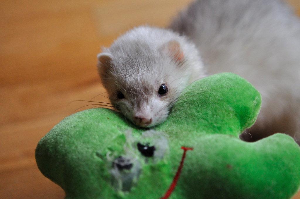 Ferret Toy Enrichment