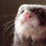 More Unusual Ferret DIY Toy Ideas
